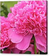 Beautiful Pink Peony Albert Crousse Paeonia Lactifora Albert Cro Acrylic Print