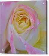 Beautiful Pink Rose Closeup  Acrylic Print