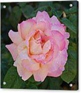 Beautiful Pink Rose Acrylic Print
