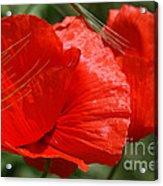 Beautiful Poppies 10 Acrylic Print