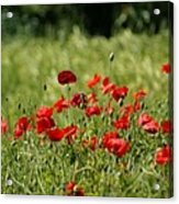 Beautiful Poppies 3 Acrylic Print