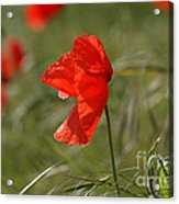 Beautiful Poppies 5 Acrylic Print