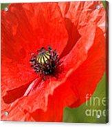 Beautiful Poppies 6 Acrylic Print