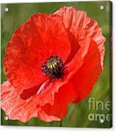 Beautiful Poppies 7 Acrylic Print