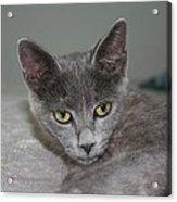 Beautiful Portait Of A Grey Russian Tabby Cat Acrylic Print
