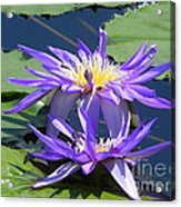 Beautiful Purple Lilies Acrylic Print