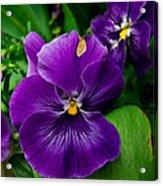 Beautiful Purple Pansies Acrylic Print