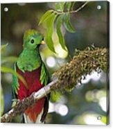 Beautiful Quetzal 1 Acrylic Print