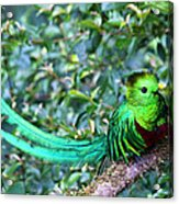 Beautiful Quetzal 3 Acrylic Print