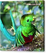 Beautiful Quetzal 5 Acrylic Print
