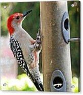 Beautiful Red Belly Woodpecker Jr Acrylic Print