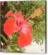 Beautiful Red Hibiscus Flower With Garden Background Acrylic Print