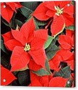 Beautiful Red Poinsettia Christmas Flowers Acrylic Print