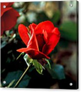 Beautiful Red Rose Bud Acrylic Print by Robert Bales
