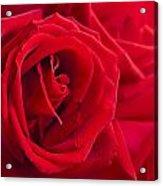 Beautiful Red Rose Close Up Shoot Acrylic Print