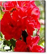 Beautiful Red Roses Acrylic Print