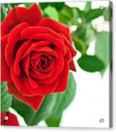 Beautiful Red Roses Flower Acrylic Print by Boon Mee