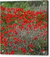 Beautiful Red Wild Anemone Flowers In A Spring Field Acrylic Print