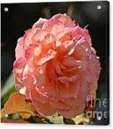 Beautiful Rose Blossom Acrylic Print
