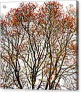 Beautiful Rowan 11 Acrylic Print