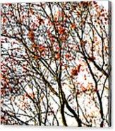 Beautiful Rowan 3 Acrylic Print