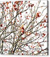 Beautiful Rowan 4 Acrylic Print
