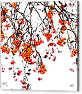 Beautiful Rowan 5 - Square Acrylic Print