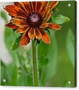 Beautiful Shades Of Brown  Acrylic Print
