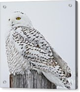 Beautiful Snowy Owl Acrylic Print