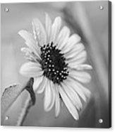 Beautiful Sunflower In Monocrome Acrylic Print