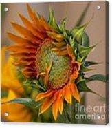 Beautiful Sunflower Acrylic Print