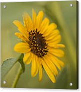 Beautiful Sunflower Acrylic Print
