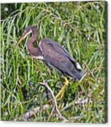Beautiful Tricolored Heron Acrylic Print