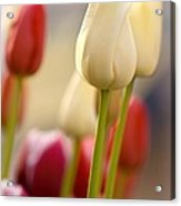 Beautiful Tulips Acrylic Print
