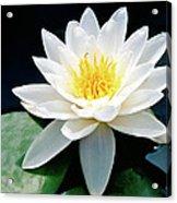 Beautiful Water Lily Capture Acrylic Print