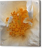 Beautiful White Rose Acrylic Print