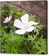 Beautiful Wild Geranium Acrylic Print