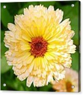 Beautiful Yellow Marigold Goldbloom Close Up  Acrylic Print