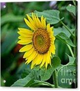 Beautiful Yellow Sunflower In Full Bloom Acrylic Print