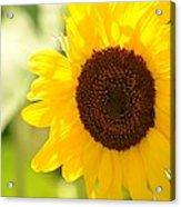 Beauty Beheld - Sunflower Acrylic Print
