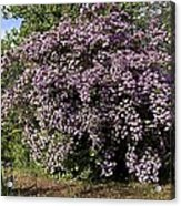 Beauty Bush (kolkwitzia Amabilis) Acrylic Print