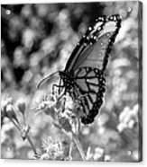 Butterfly Beauty In Nature Acrylic Print