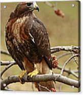 Beauty In Nature Red Tailed Hawk In The Spring  Acrylic Print by Inspired Nature Photography Fine Art Photography