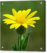 Beauty In Yellow Acrylic Print