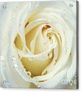 Beauty Of A White Rose Acrylic Print