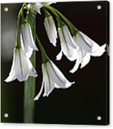 Beauty Of The Snowdrops Acrylic Print
