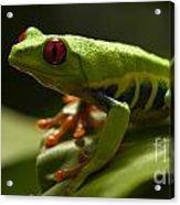 Beauty Of Tree Frogs Costa Rica 3 Acrylic Print