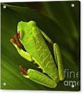 Beauty Of Tree Frogs Costa Rica 6 Acrylic Print