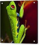 Beauty Of Tree Frogs Costa Rica 9 Acrylic Print