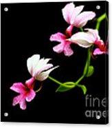 Beauty On Black Acrylic Print